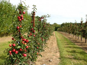 Young_apple_trees_bearing_fruit_-_geograph.org.uk_-_1476095